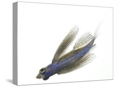 A juvenile flying fish