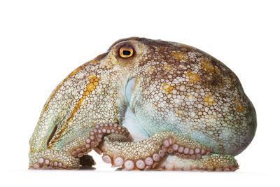 A pale octopus, Octopus pallidus.