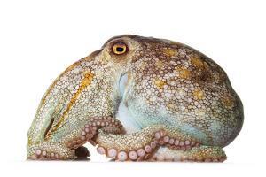 A pale octopus, Octopus pallidus. by David Liittschwager