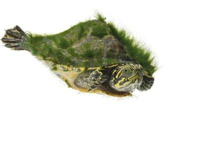 A river cooter turtle collected from a fresh water river sample. by David Liittschwager