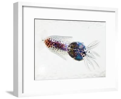 A transparent larval squid
