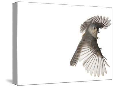 A tufted titmouse, from a deciduous forest, in flight.