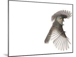 A tufted titmouse, from a deciduous forest, in flight. by David Liittschwager