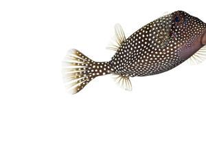 A Whitespotted Boxfish Collected from a Sample of Coral Reef by David Liittschwager