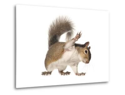 An Eastern Gray Squirrel