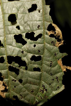 Insect Damage on Vegetation in the Tiputini Biodiversity Station by David Liittschwager
