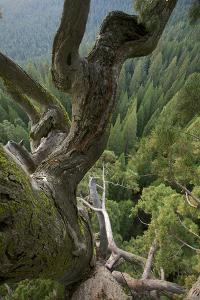 The Giant Sequoia Named Odin by David Liittschwager