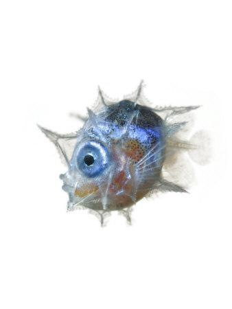 The larva of the slender mola is pea-size and big-eyed.