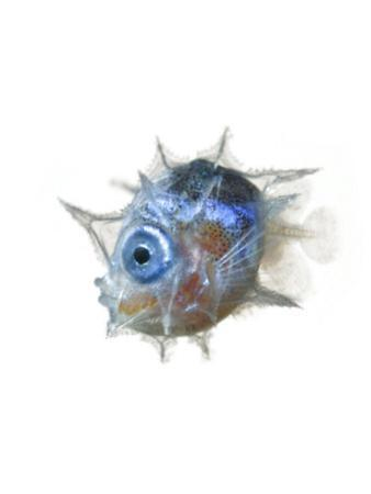 The larva of the slender mola is pea-size and big-eyed. by David Liittschwager