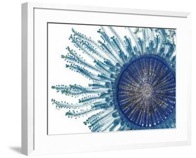 The Pigment of a Blue Button Jellyfish Blocks Ultraviolet Rays by David Liittschwager