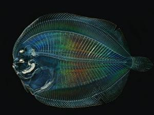 This larval flounder is hidden from predators by transparency by David Liittschwager