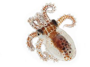 This young octopus surfaces under cover of darkness to feed by David Liittschwager
