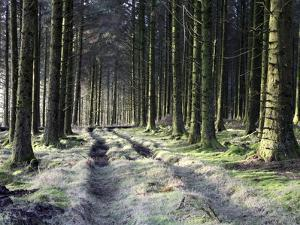 Forestry Commission Plantation, Sousons, Dartmoor, Devon, England, United Kingdom, Europe by David Lomax