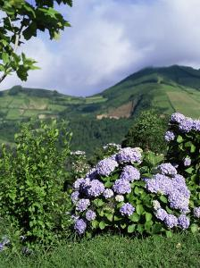 Hydrangeas in Bloom, Island of Sao Miguel, Azores, Portugal by David Lomax
