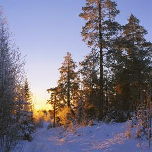 Winter Sunset in the Forest Near Oslo, Norway, Scandinavia, Europe by David Lomax