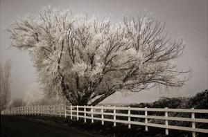 Frosted Tree & Fence by David Lorenz Winston