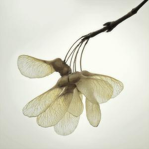 Maple Seedpods by David Lorenz Winston