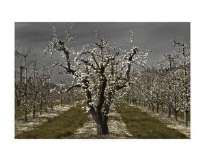 Pear Blossoms by David Lorenz Winston