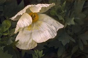 Romenya Coulteri Poppy by David Lorenz Winston
