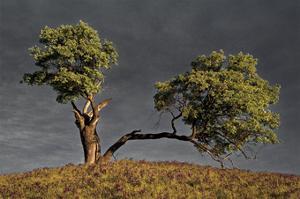 Split Oak by David Lorenz Winston