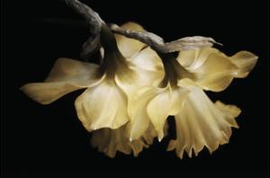 Sunning Daffodils by David Lorenz Winston