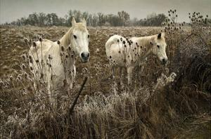 White Horses by David Lorenz Winston