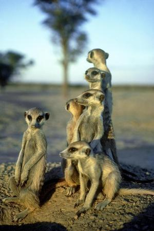 Meerkats, Emerging from Den, Kalahari