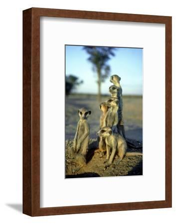 Meerkats, Emerging from Den, Kalahari