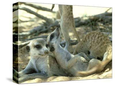 Meerkats, Resting in the Shade, Kalahari