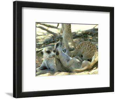 Meerkats, Resting in the Shade, Kalahari