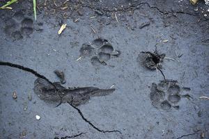 Animal tracks in the muddy bottom, close-up by David & Micha Sheldon