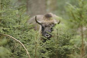 Bison, Bison Bonasus, Wood, Frontal, Standing, Looking at Camera by David & Micha Sheldon