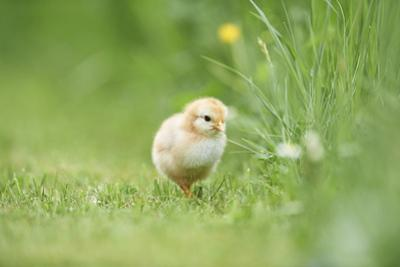 Chicken, Gallus Gallus Domesticus, Chick, Meadow, Front View, Standing, Looking at Camera