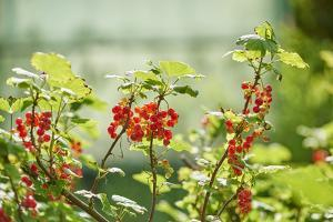 common horsetail or red currant (Ribes rubrum), Germany, Europe by David & Micha Sheldon