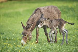 Domestic Ass, Equus Asinus Asinus, Mare, Foal, Meadow, at the Side, Is Standing by David & Micha Sheldon