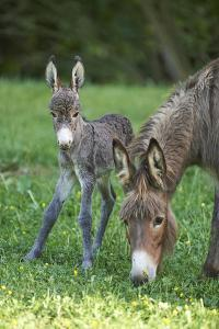 Domestic Ass, Equus Asinus Asinus, Mare, Foal, Meadow, Head-On, Is Standing, Looking into Camera by David & Micha Sheldon