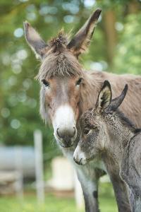 Domestic Donkey, Equus Asinus Asinus, Mare, Foal, Portrait, Head-On, Looking into Camera by David & Micha Sheldon