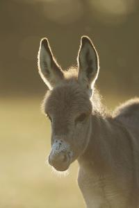 Donkey, Equus Asinus Asinus, Foal, Portrait, Meadow, Is Lying Laterally by David & Micha Sheldon