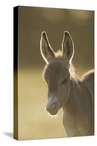 Donkey, Equus Asinus Asinus, Foal, Portrait, Meadow, Is Lying Laterally by David & Micha Sheldon