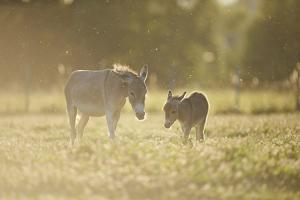 Donkey, Equus Asinus Asinus, Mother and Foal, Meadow, are Lying Laterally by David & Micha Sheldon