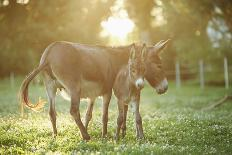 Donkey, Equus Asinus Asinus, Foal, Portrait, Meadow, Is Lying Laterally-David & Micha Sheldon-Photographic Print