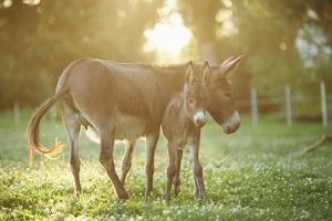 Donkey, Equus Asinus Asinus, Mother and Foal, Meadow, Is Lying Laterally by David & Micha Sheldon