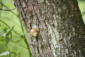 Edible snail, helix pomatia, trunk, close-up by David & Micha Sheldon