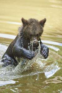 European brown bear, Ursus arctos arctos, young animal, wilderness, pond, bathe by David & Micha Sheldon