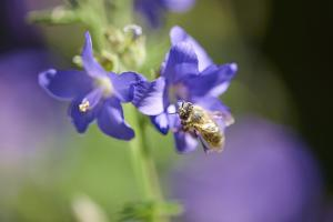 European honeybee, Apis mellifera, blossom, dust, close-up by David & Micha Sheldon