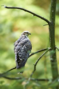 honey buzzard, Pernis apivorus, branch, wood, sidewise, sit by David & Micha Sheldon