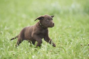 Labrador retrievers, chocolate brown, puppy, meadow, frontal, run by David & Micha Sheldon