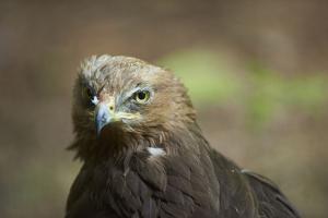 lesser spotted eagle, Clanga pomarina, close-up, by David & Micha Sheldon