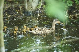 Mallard, Anas platyrhynchos, fledglings, water, sidewise, swim by David & Micha Sheldon