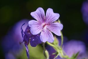 Mallow, Malva, blossom, mauve, close-up by David & Micha Sheldon